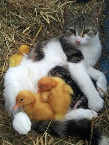 Apparently cats also feed ducks!!
