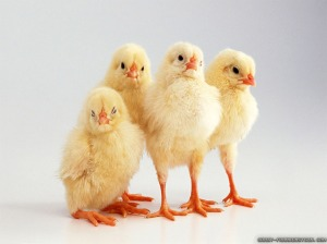 Spring chickens -- hey, they look a lot like YOU!!