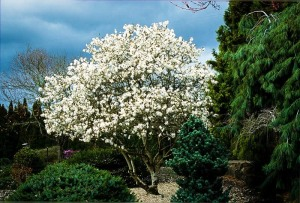 Royal Star Magnolia in bloom
